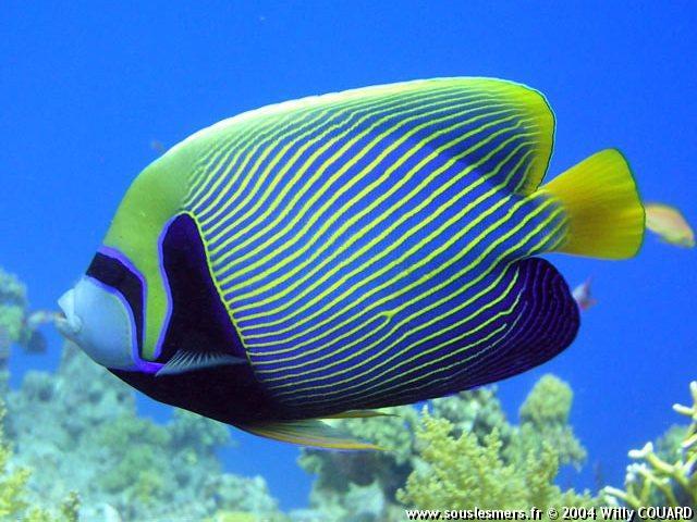 Quel poisson rêvez-vous de possèder? Wico0010