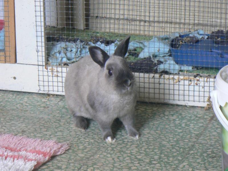 Ginseng,jeune lapin mâle Lapins13