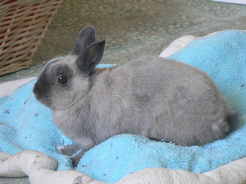 Ginseng,jeune lapin mâle Lapins14