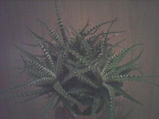 cactus dans terra gecko?? Img02610