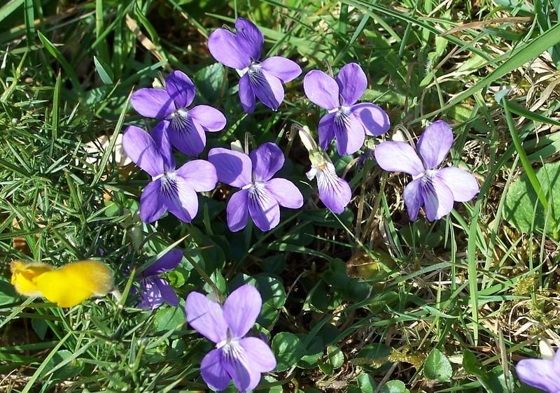 LES FLEURS DE L'ARREE 1ère partie Violet10