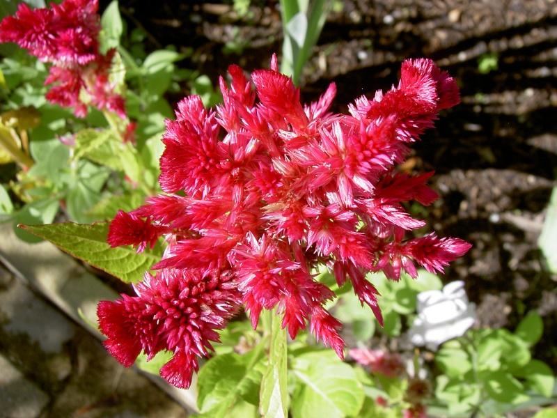 Floraisons du mois d'Août Pict6212
