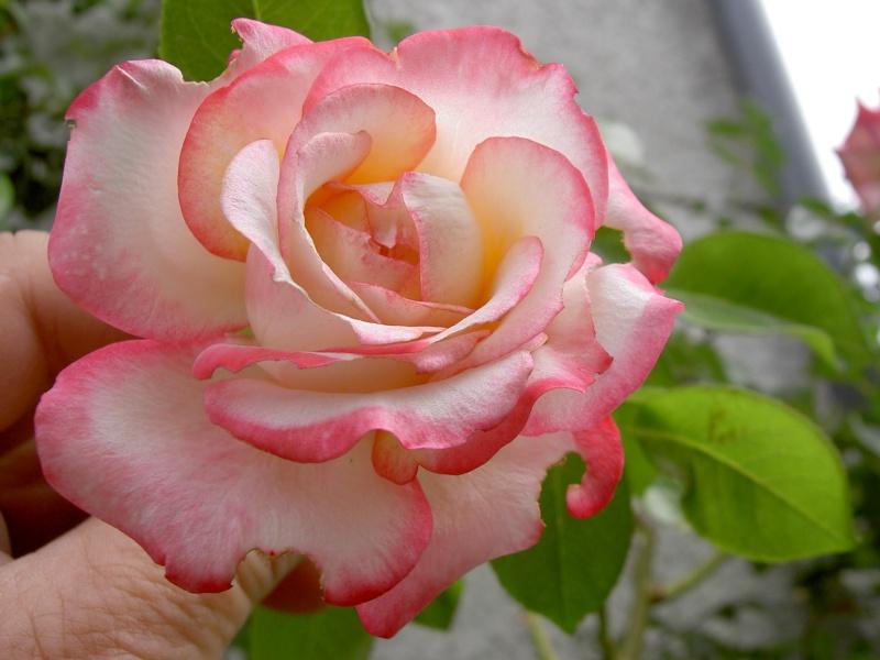 Floraisons du mois de septembre Pict6329