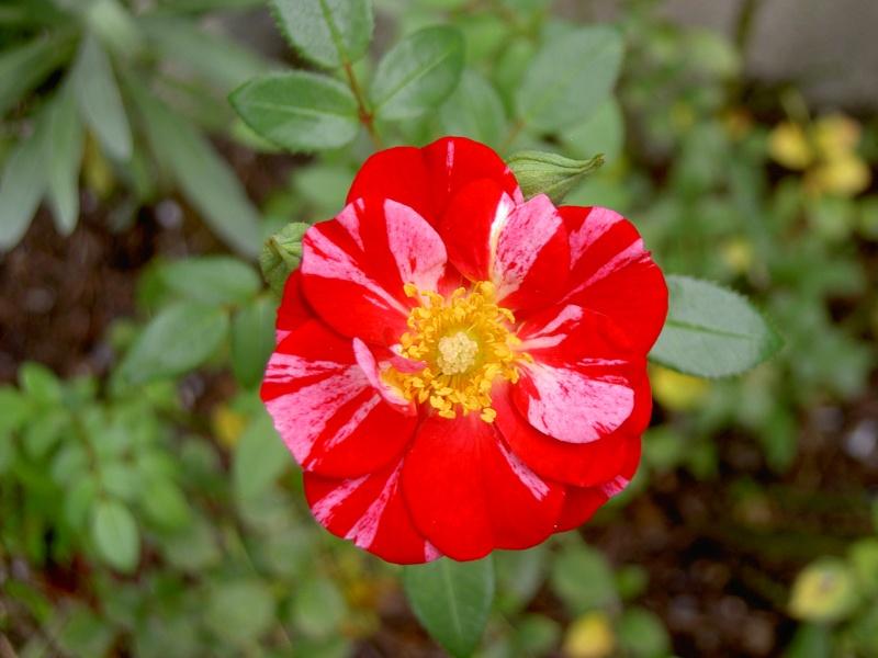 Floraisons du mois de septembre - Page 2 Pict6342