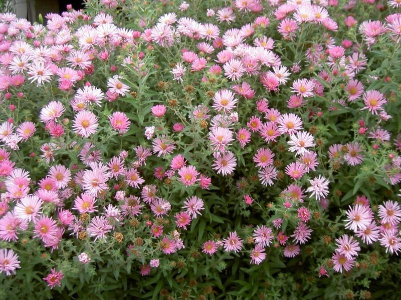 Floraisons du mois de septembre - Page 2 Pict6343