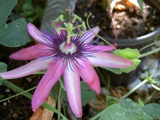 Passiflora yucatanensis  Pict6467