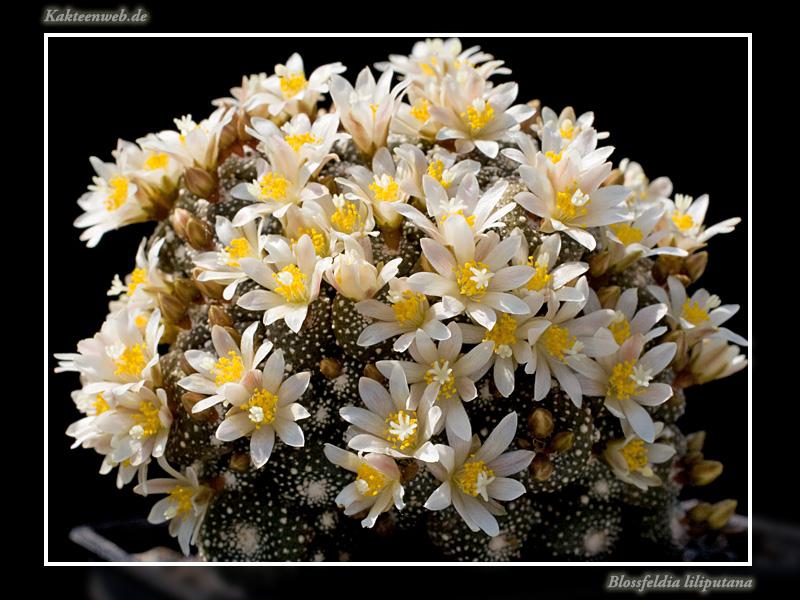 Blossfeldia liliputana Blossl12