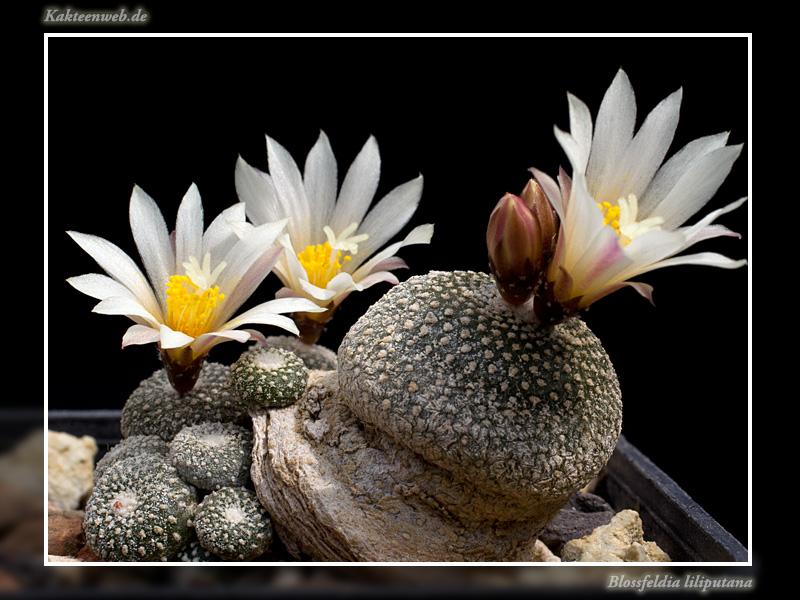Blossfeldia liliputana Blossl13