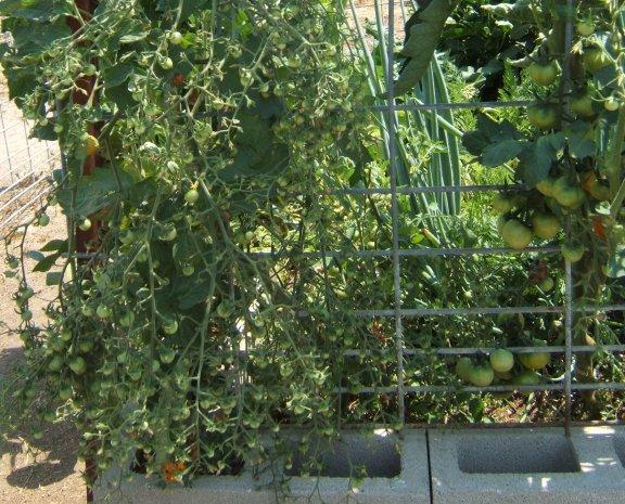 Tomato Tuesday/So. Calif. & Inland Valleys Tomato10