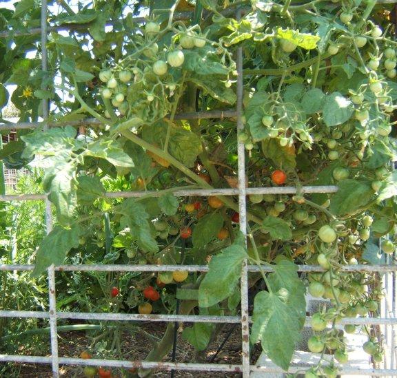 Tomato Tuesday/So. Calif. & Inland Valleys Tomato11
