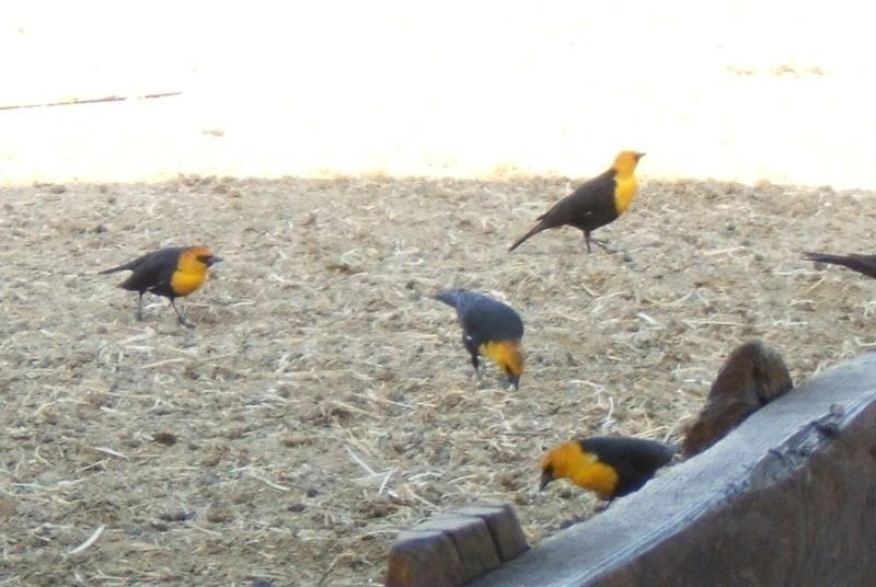 Josh's Project Bird Feeder Watch - Page 3 Yellow10