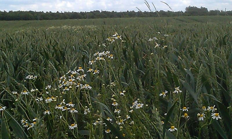 nuisibilté du vulpin/matricaire/ray-grass Blasal18