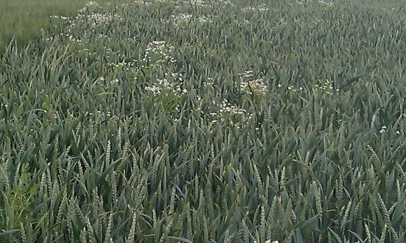 nuisibilté du vulpin/matricaire/ray-grass Blasal20