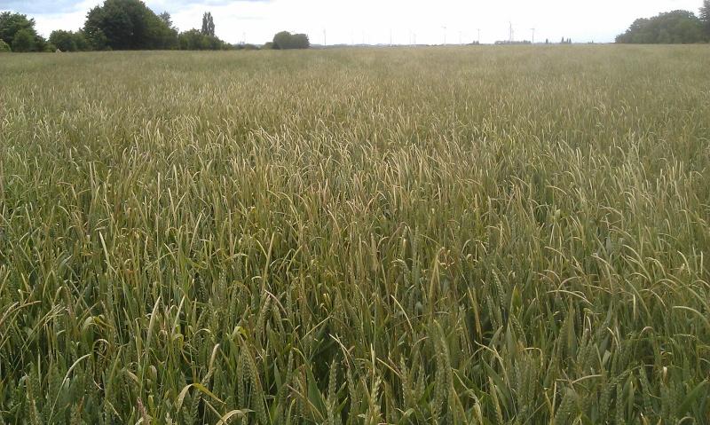 nuisibilté du vulpin/matricaire/ray-grass Blasal23