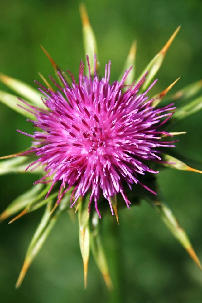 Flora di Corsica Img_1811