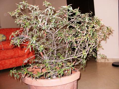 Impostazione Pyracantha 20111210