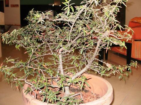 Impostazione Pyracantha 20111212