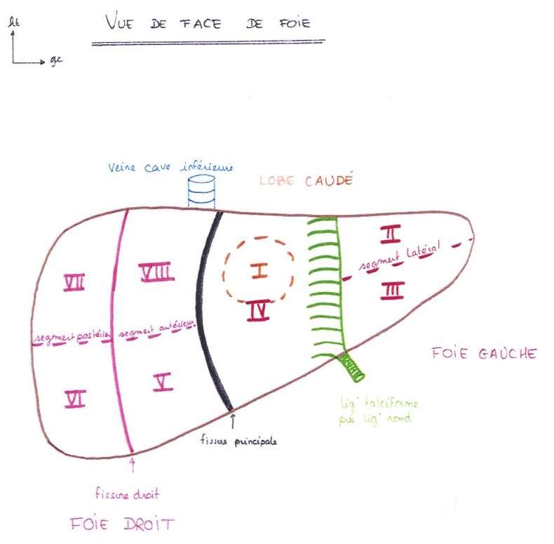 [Cours] Le Foie Foie_s10