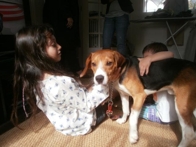 MARLEY, beagle mâle, 10 mois (77) P9140613