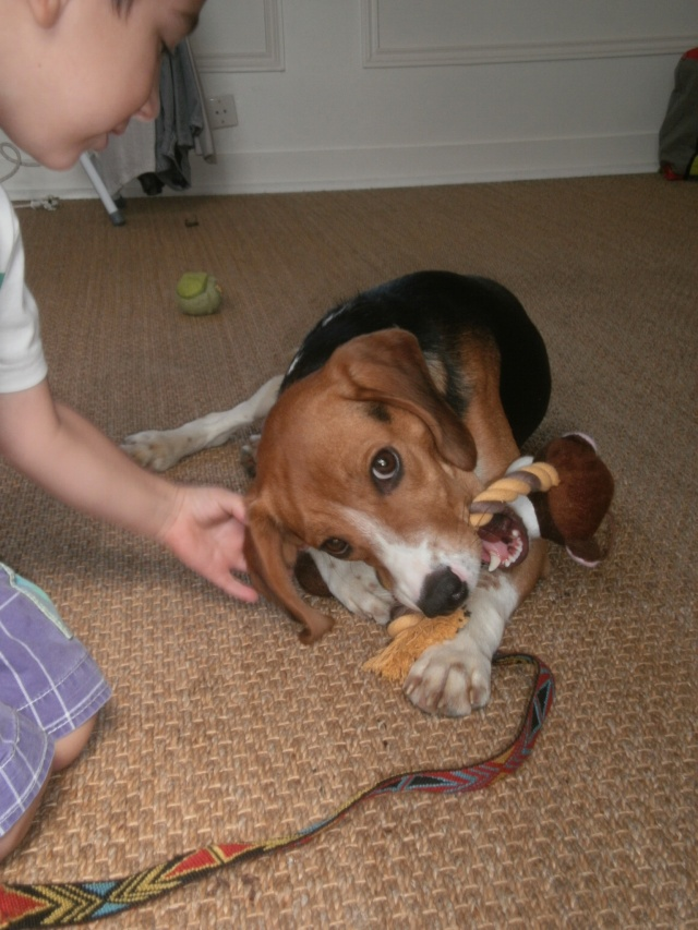 MARLEY, beagle mâle, 10 mois (77) P9140614