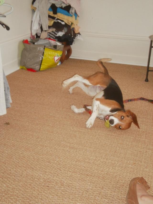 MARLEY, beagle mâle, 10 mois (77) P9140615