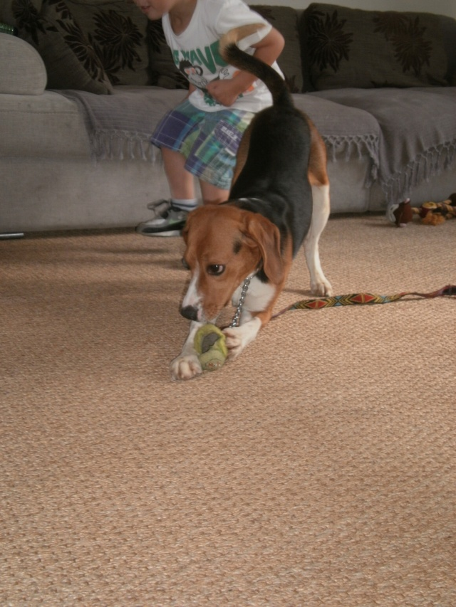 MARLEY, beagle mâle, 10 mois (77) P9140618