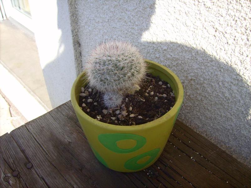 boule de cactus (Mammillaria bombycina) Lpic7021