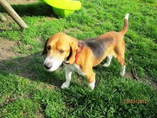 FANGIO mâle beagle de 7 ans (85) Fangio13