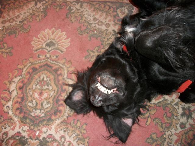 Tango, Croisé Labrador noir de 2 ans (castré) Imgp0610