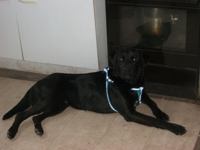 Tango, Croisé Labrador noir de 2 ans (castré) Imgp0911