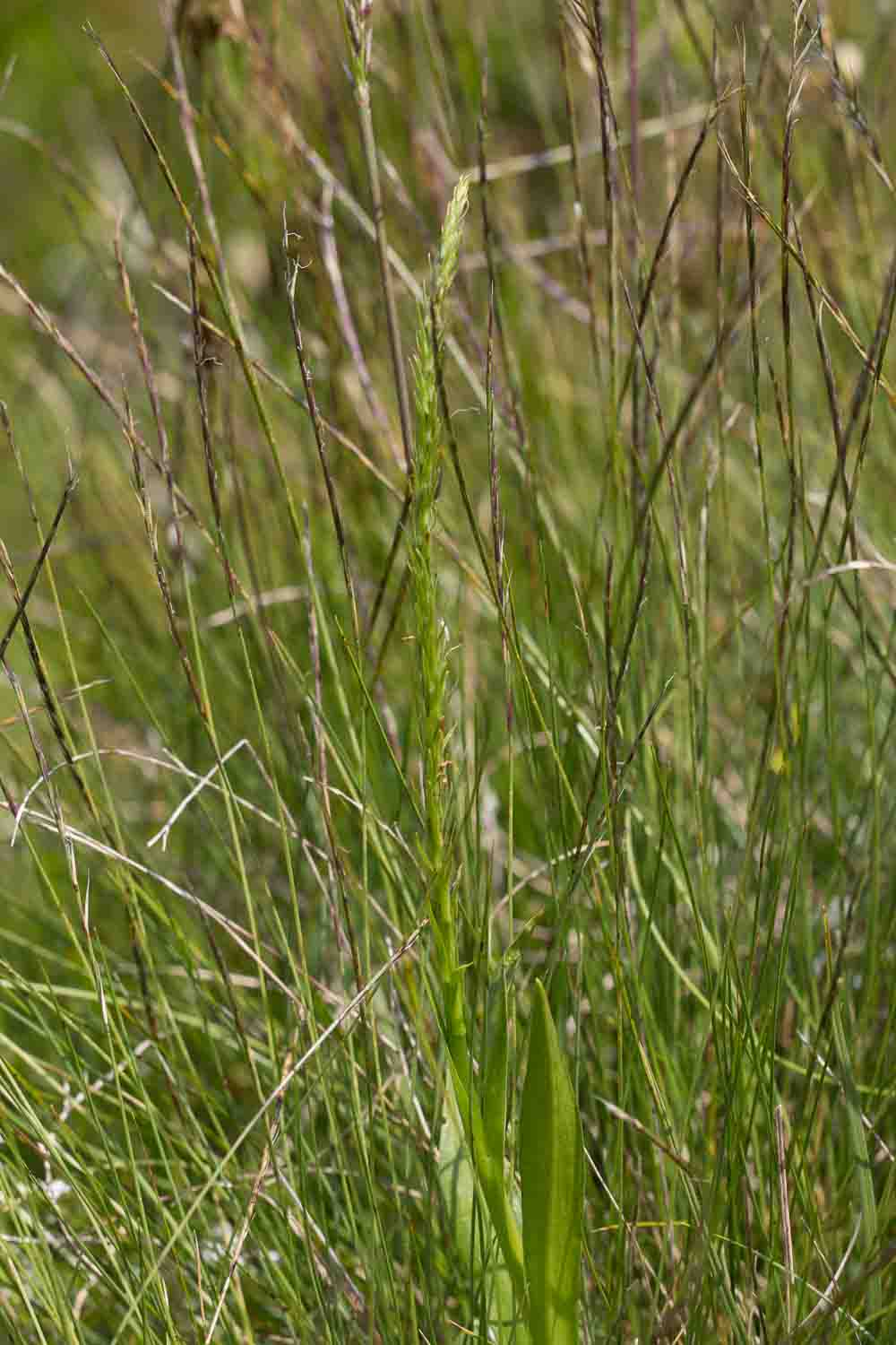 Lusus d'Orchis mascula  Img_3010