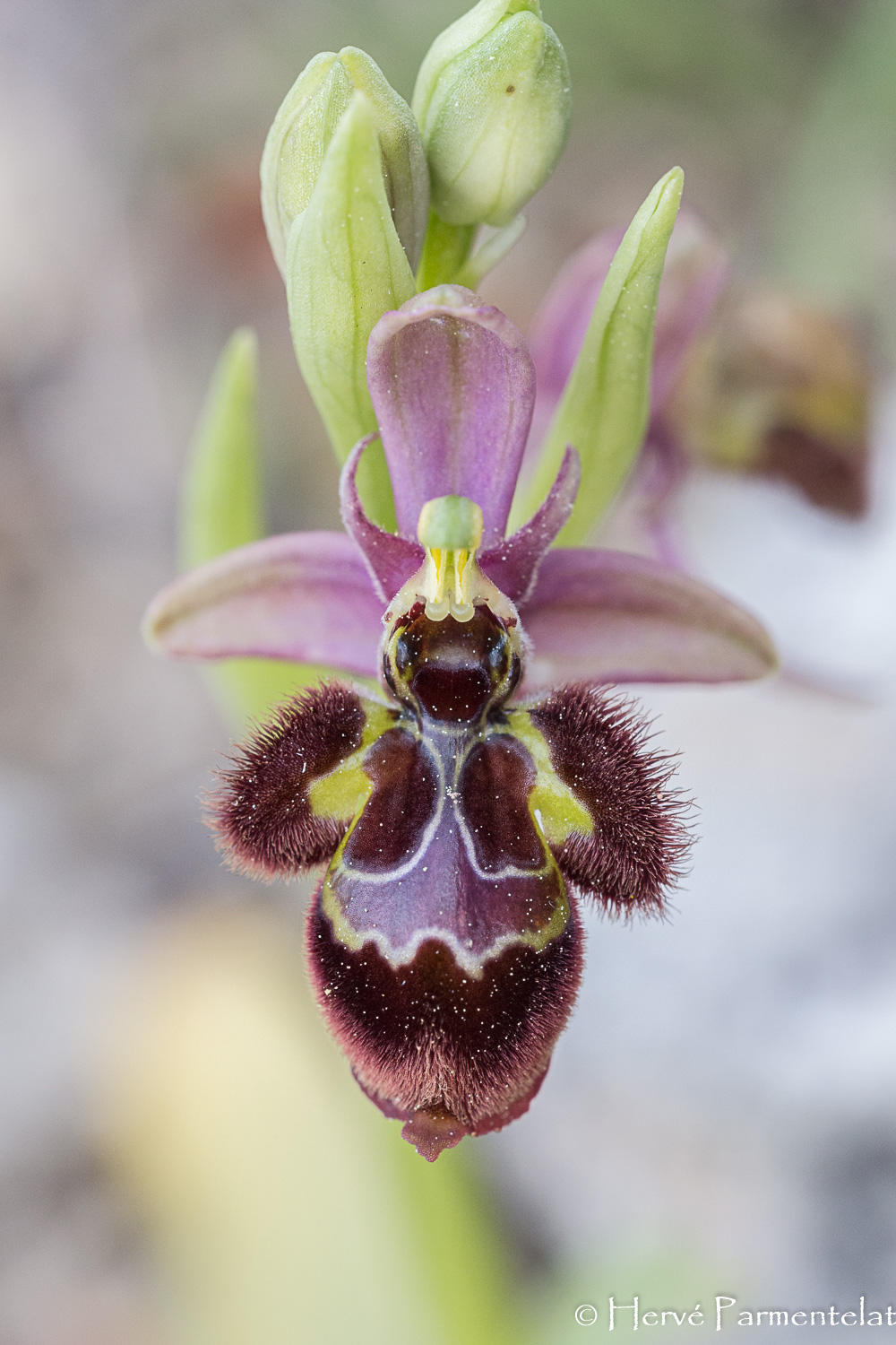 Ophrys scolopax × speculum (Ophrys ×castroviejoi) Img_7010