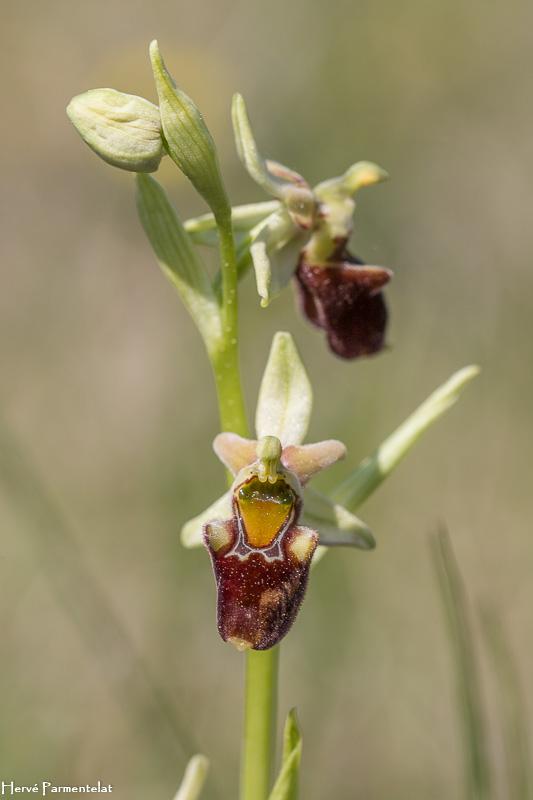 Ophrys apifera x aranifera Img_7410