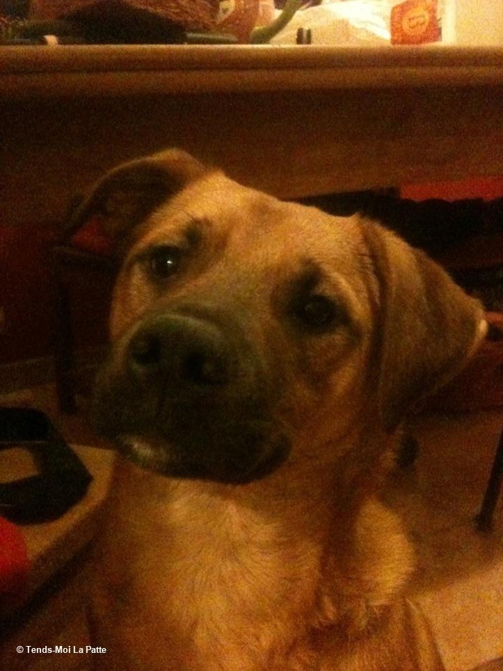 HULK rebaptisé WILLOW mâle croisé labrador de 8 mois Image331