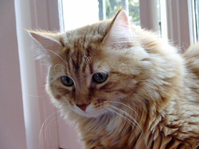 ODDY & ZAO - 2 chatons mâles tigrés roux - en cours de sevrage Zonza_10