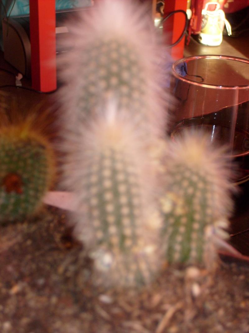 [Cleistocactus strausii et Parodia leninghausii] deux cactus a identifier s'il vous plait S6301311