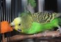 Petite perruche pas très intéressée ... Img_9612