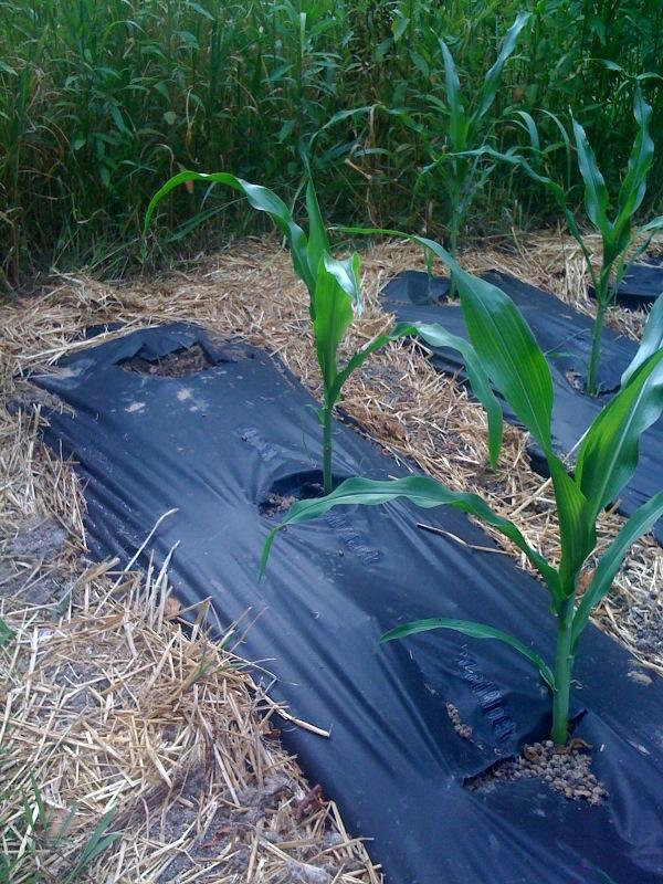 "Is your corn ""knee high""? Corn10"