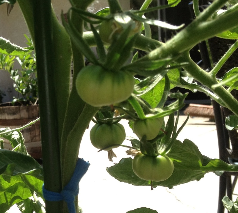 Tomato Tuesday: N.Cal & inland valleys Pineap11