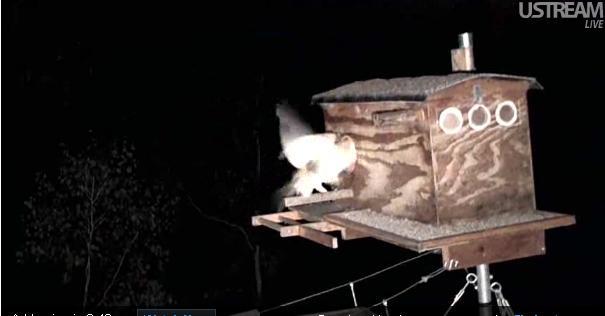 La webcam d'une chouette effraie  - Page 3 Arrive11