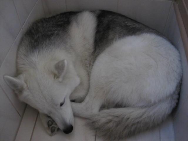 Husky malheureux ? Dort_e11