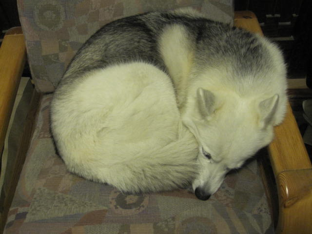 Husky malheureux ? Enroul10