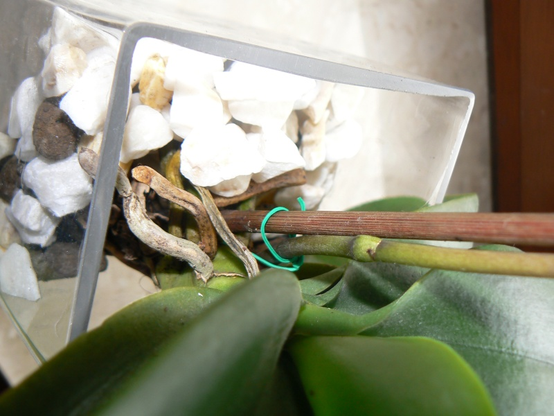 Uprawa wazonowa w keramzycie - Page 2 P1090141