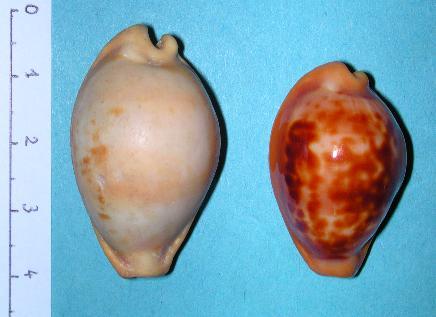 Propustularia surinamensis - (G. Perry, 1811) Suri210