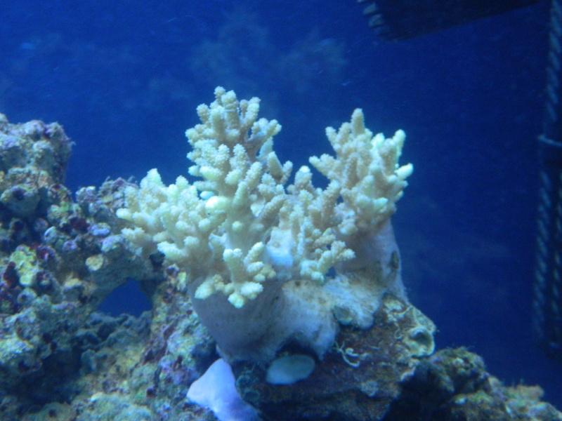 coraux mous Dscn3724