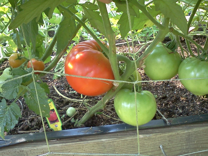 Mid-Atlantic - Tomato Tuesday 2012 02615