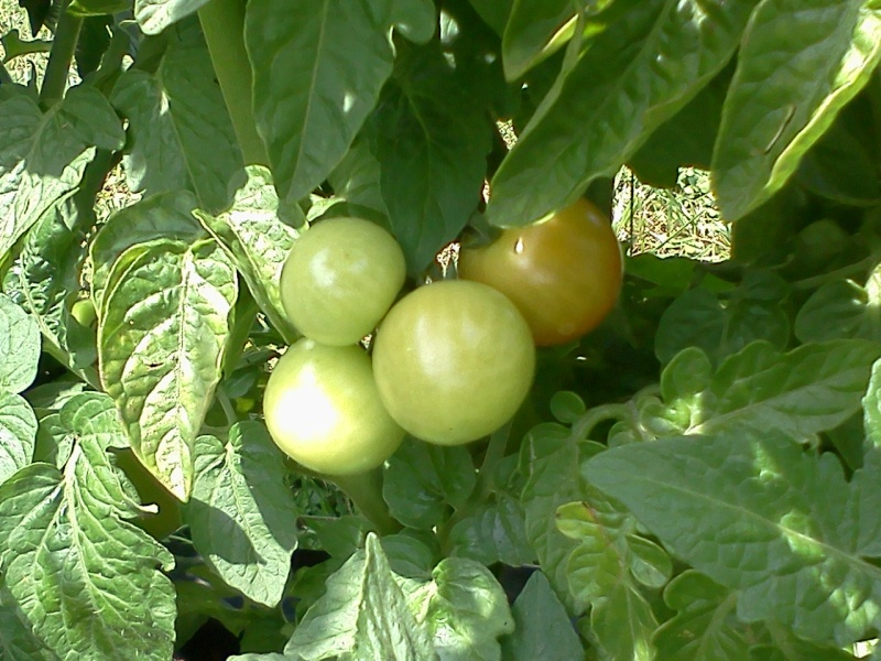 Monthly Avatar Theme For July: Tomatoes! 05210