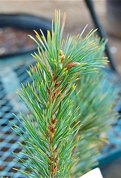Pine Problem - Page 2 Dsc_0041