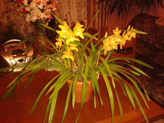 Quelques petites photos de mon cymbidium.(orchidées) 2012-117