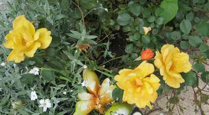 rosier lemon fizz 00140